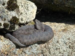 Vretenica Vipera latasti, La Alberca. Foto R.S.