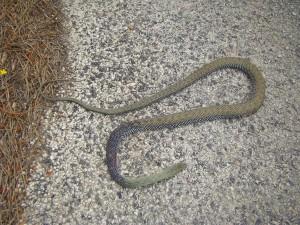 Mŕtvola hada Malpolon monspessulanus, Cazorla. Foto R.S.
