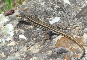 Jašterica španielská – samec ( Podarcis hispanicus ), Segura. Foto R.S.