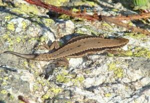 Jašterica múrová - samička ( Podarcis muralis ), Sierra de Guadarrama-Puerto de Navacerrada. Foto R.S.