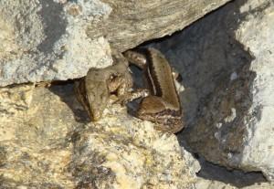 Jašterice múrové, pár ( Podarcis muralis ), Sierra de Guadarrama-Puerto de Navacerrada. Foto R.S.