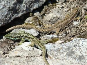 Pár jašteríc Iberolacerta cyreni cyreni, dole je samec, hore samička, Sierra de Guadarrama-Puerto de Navacerrada. Foto R.S.