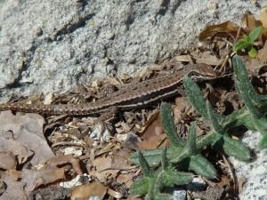 Jašterica múrová ( Podarcis muralis ), samička. Puerto de Navacerrada. Foto R.S