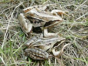 Skokany ostropyské ( Rana arvalis wolterstorffi ), Ócsa.