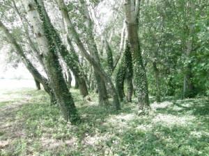 ...Topoľový les severne Győrsövényház...