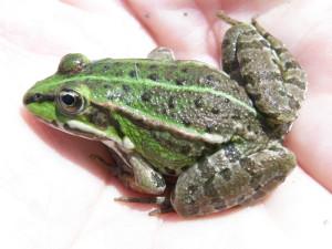 ...skokan zelený ( Pelophylax kl. esculentus )...