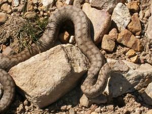 Vretenica ( Vipera aspis aspis ).
