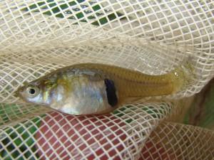 Živorodka Gambusia affinis, žije v každej nížinnej vode Grúzie.