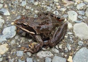 Skokan maloázijský Rana macrocnemis.