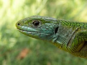 Portrét samičky jašterice zelenej.