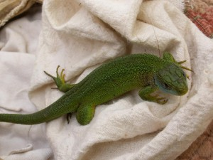 Mladý samec jašterice zelenej.