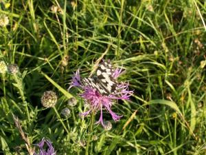 Neviem určiť druh motýľa, ale poletovalo ich na kopcoch veľa.