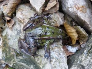 Skokan Pelophylax sp, Olvár. 23.12.2011.