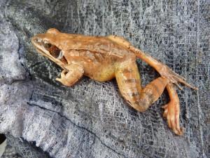 Skokan štíhlý ( Rana dalmatina ), tento skokan ležal mŕtvy na dne potoka. Olvár. 23.12.2011.