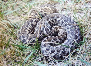 Vretenica malá, samička ( Vipera ursinii rakosiensis ).