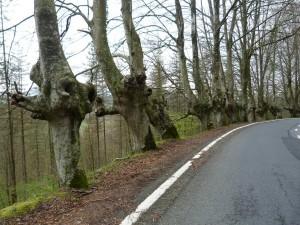 Staré stromy v stúpaní k hraniciam Francúzska a Španielska.