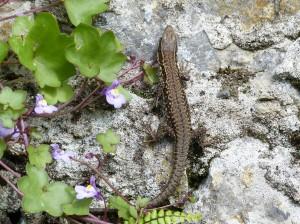 Mladý samec jašterice múrovej ( Podarcis muralis ).