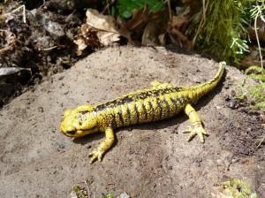 Salamandra poddruhu Salamandra salamandra alfredschmidti.