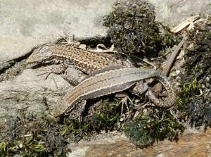 Dole samec, nad ním samica jašteríc múrových ( Podarcis muralis brogniardii ), lokalita La Marea.
