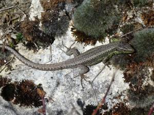 Samec Iberolacerta monticola cantabrica, lokalita Puerto de Pajares, 1379 m.n.m.