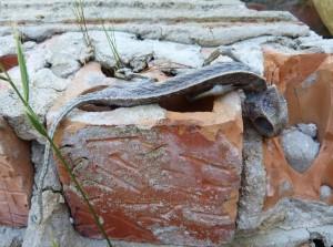 Môj jediný ulovený chameleón ( Chamaeleo chamaeleon ) v parku mesta Mazagón.