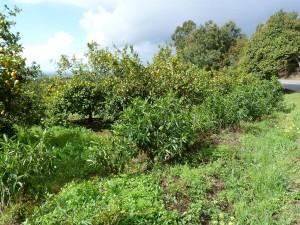 Pomarančová,mandarinková a citrónová záhrada pri ceste na Foia 902 m.n.m.