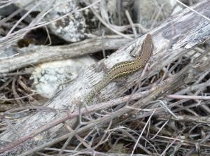 Samička jašterice druhu Podarcis vaucheri.