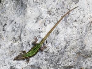 Samec jašterice druhu Podarcis vaucheri.