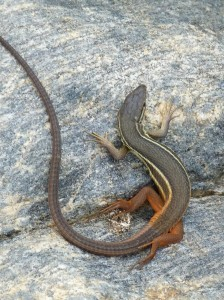 Mláďa Psammodromus algirus.