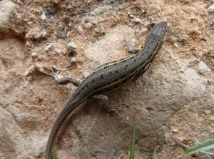 Elche de la Sierra Psammodromus sp. (edwardsianus-hispanicus?).