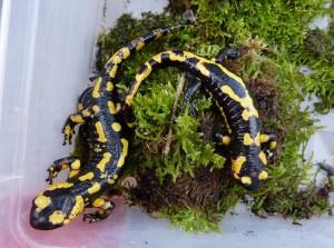 Salamandry poddruhu Salamandra salamandra terrestris.