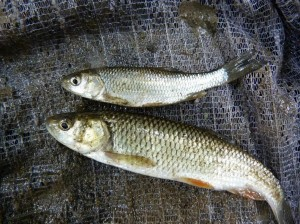 Jalce hlavaté ( Leuciscus cephalus ).
