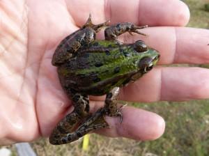 Skokany zelené ( Pelophylax esculentus ). Vľavo zdravý. Vpravo s nepohyblivou zadnou nohou.
