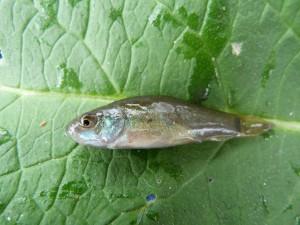 Lieň sliznatý ( Tinca tinca ).