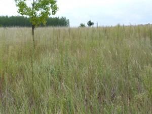 Hustá tráva, ktorou sú porastené nezorané duny.