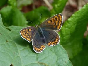 Neurčený motýľ z lúky - Ipeľské Predmostie.