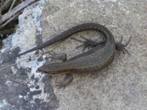 Jašterice živorodé ( Zootoca vivipara ), gravidné samičky, Zatín.