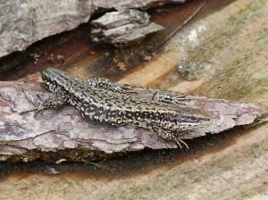 Jašterica živorodá ( Zootoca vivipara ), samec.