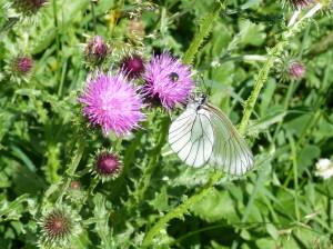 Motýľ s priesvitnými krídlami.