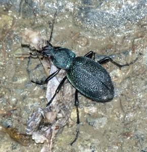 Neurčený chrobák, pri každej výchadzke som ich niekoľko našiel.