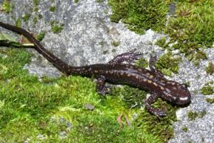 Mlok kaukazský Mertensiella caucasica, dospelý samec.