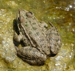 Skokan rapotavý ( Pelophylax ridibundus ) z Edirne.