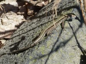 Samička jašterice múrovej ( Podarcis muralis nigroventris ).