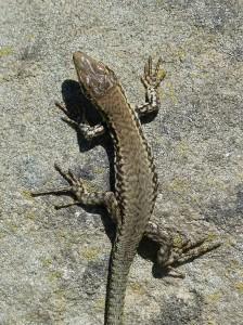 Mláďa jašterice múrovej ( Podarcis muralis nigroventris ).