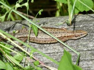 Jašterica živorodá ( Zootoca vivipara ), samička, lokalita Uriž.