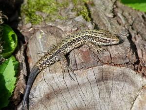 Jašterica živorodá ( Zootoca vivipara ), samec, lokalita Uri