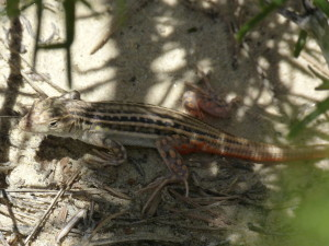 Acanthodactylus erythrurus,mláďa,3.6.2015,15:04 hod.