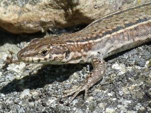 San Pablo de los Montes, iná samička Podarcis virescens, detail štítkov na hlave, 05.06.2015, 10:21 hod.