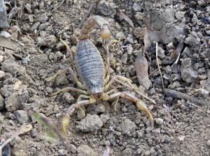 Asi 11 cm veľký škorpión z okraja, 05.06.2015, 12:10 hod.