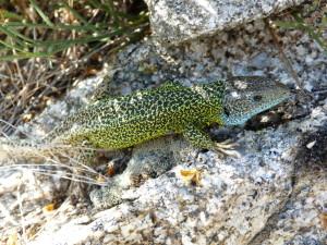 Jašterica Laceta schreiberi, Puerto de Pico,1352 m.n.m., samec, 05.06.2015, 17:39 -17:45 hod.